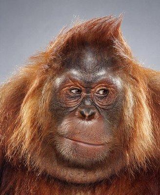 20090122160605-orangutan.jpg