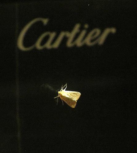 Cartier moth by JoseAngelGarciaLanda