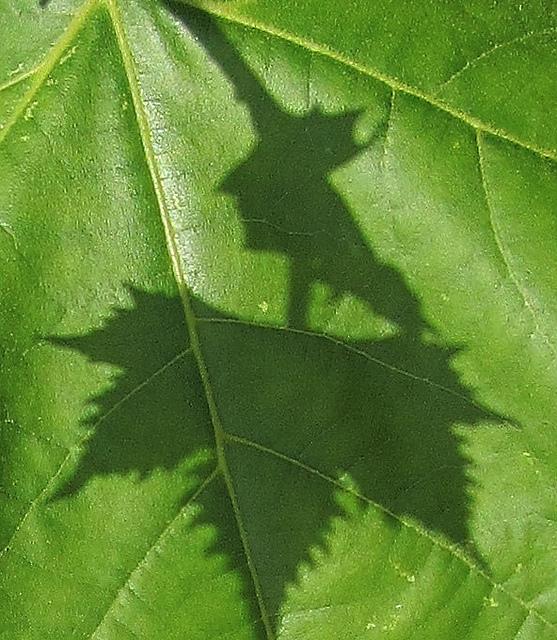 Sombra de hoja sobre hoja
