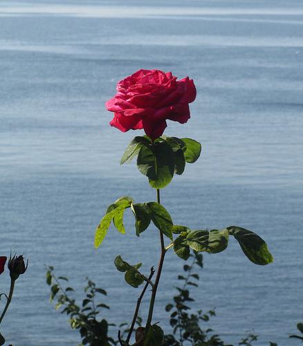 A rose arose by JoseAngelGarciaLanda