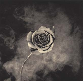 rosa mapplethorpe