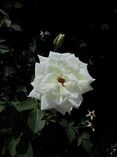 Go Lovely Rose by JoseAngelGarciaLanda