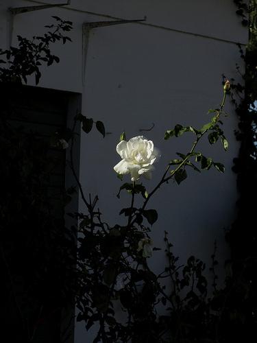 That Rose by JoseAngelGarciaLanda