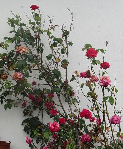 L'âge de la rose by JoseAngelGarciaLanda