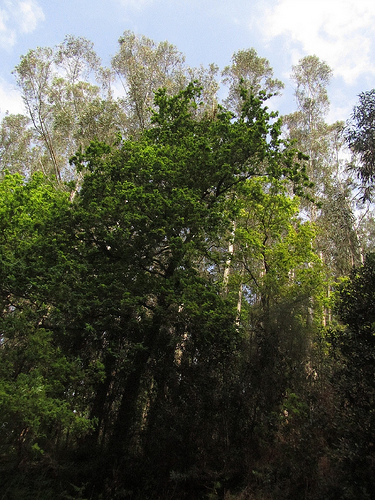 Pino y eucaliptos by JoseAngelGarciaLanda